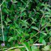 Plants menthe poivrée bretagne